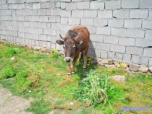 نگاه کنجکاوانه ی گاو! - روستای قلعه - 24 فروردین 1392 - عکس از عطیه نظری