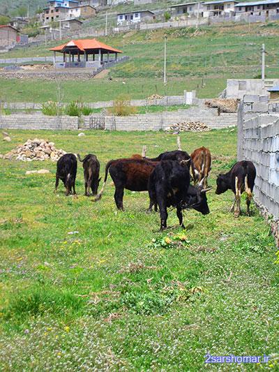 چرای گاوها در پشت قلعه - روستای قلعه - 24 فروردین 1392 - عکس از عطیه نظری