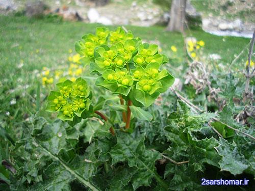 گیاه فرفیون  - روستای پایین ده - 23 فروردین 1392 - عکس از عطیه نظری