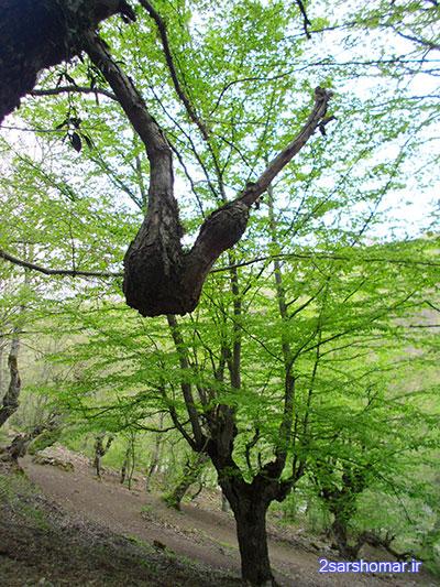 شکل عجیب درخت - مسیر چشمه « امدوا » روستای پایین ده - 23 فروردین 1392 - عکس از عطیه نظری