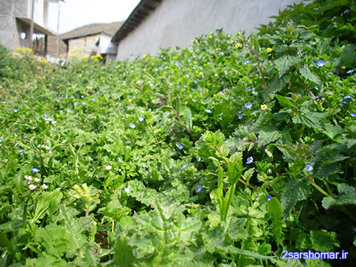 رویش گل های بهاری - روستای پایین ده - 22 فروردین 1392 - عکس از عطیه نظری